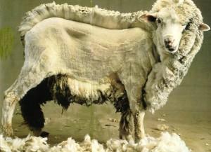 moutondu